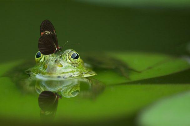 En groda med en fjäril på huvudet
