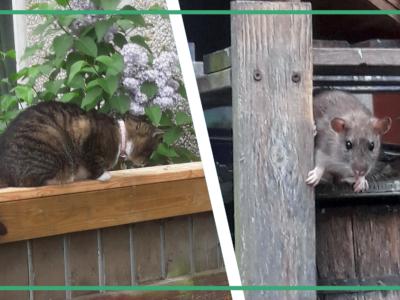 Ett bildmontage med en katt som ligger på ett balkongräcke, och en mus som sitter i en hylla