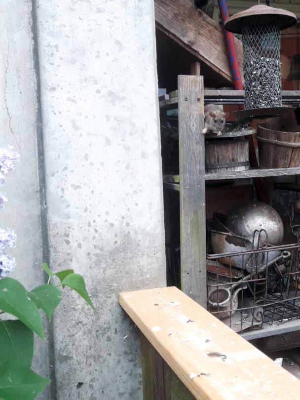 En mus som sitter i en hylla på en balkong